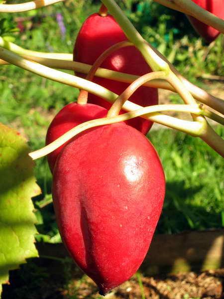 Подофиллум (подофил) Эмоди,  Podophyllum emodii, плоды