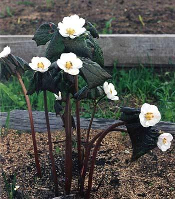 Подофиллум (подофил) Эмоди,  Podophyllum emodii, цветы