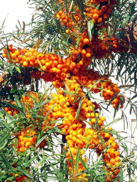 Облепиха, яоды облепихи, Hippophae rhamnoides