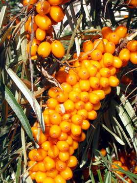 Облепиха, ягоды облепихи, Hippophae rhamnoides