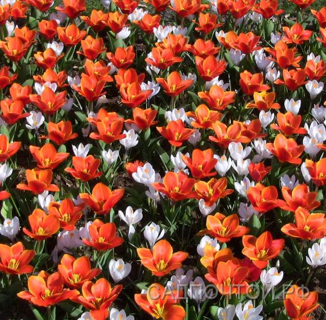 Крокусы и тюльпаны