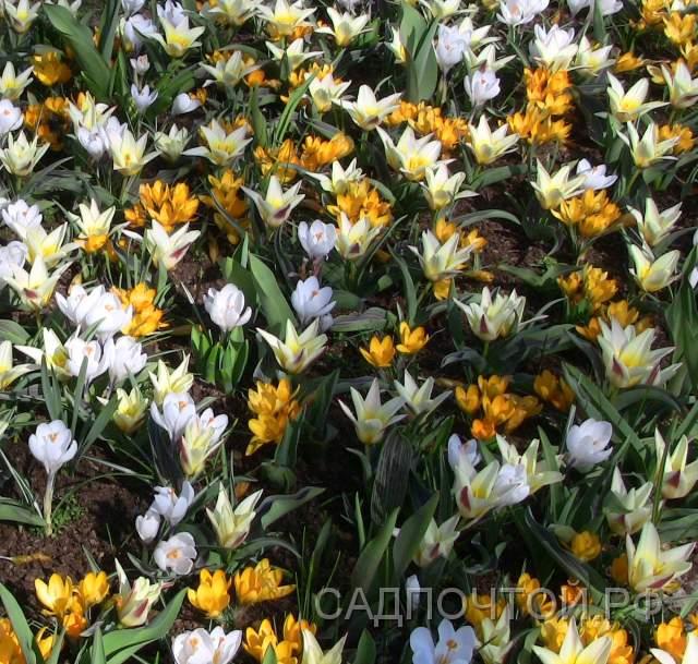 Крокусы разного цвета и тюльпаны