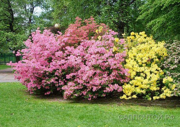 Листопадный рододендрон, цветение