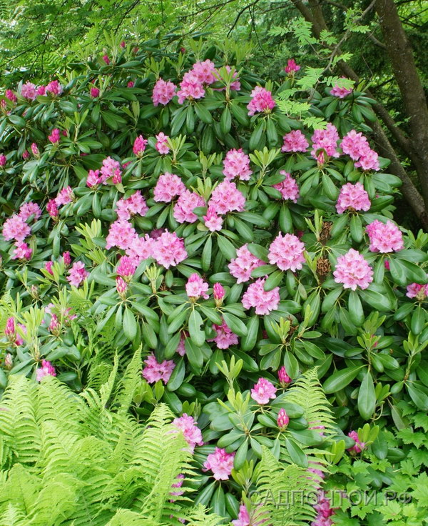 Вечнозеленый рододендрон, цветение