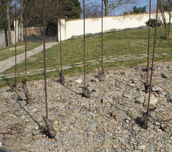 Виноград без штамба