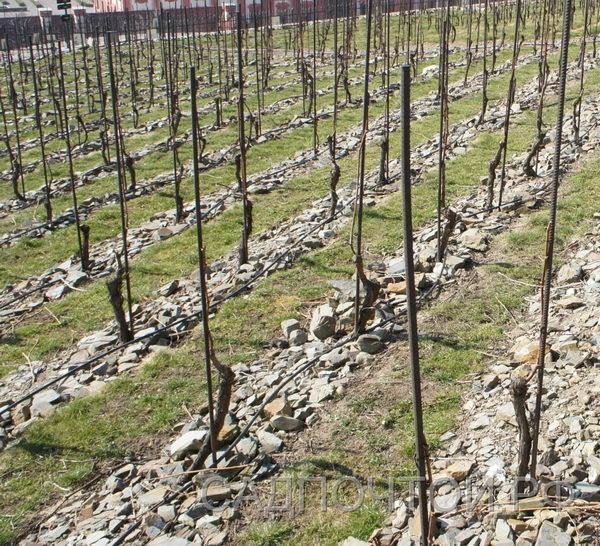 Виноград формовка