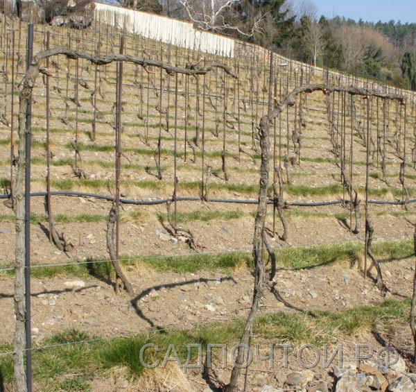 Виноград формовка высокая