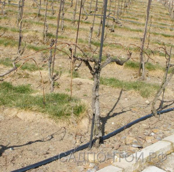 Виноград формовка кордоном