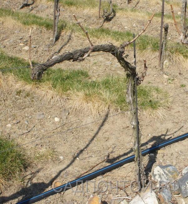 Виноград обрезка на несколько глазков