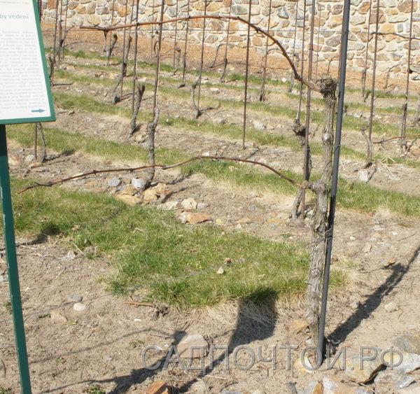 Виноград двухплечный кордон