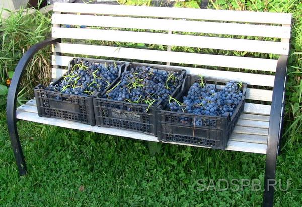 Виноград - урожай с одной лозы