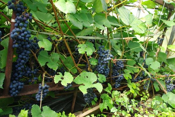 Виноград Зилга в парнике